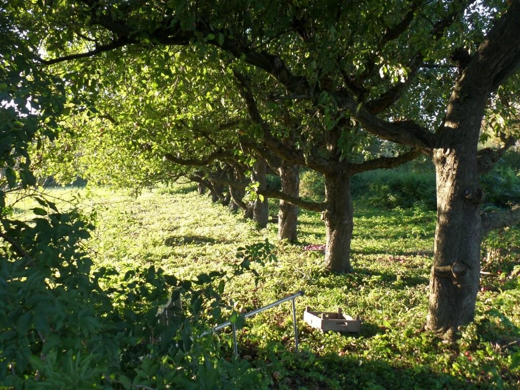 Oude appelbomen op de tuinderij